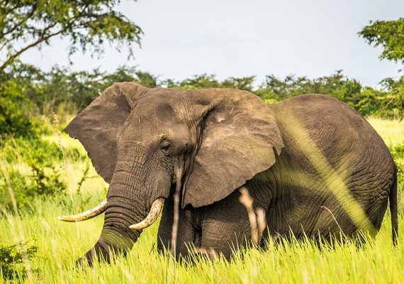 Elaphant in Queen Elizabeth National Park, Uganda